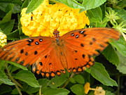 Warren Thompson - Gulf Fritillary Butterfly