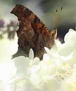 Butterflies Photos - Harmony by Sweet Moments Photography