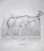 Safari Sketch Posters - Hartebeest Poster by Julia Raddatz