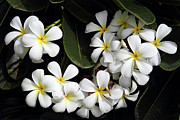 Lei Photos - Hawaiian Plumeria by Pierre Leclerc