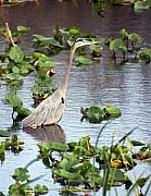Marty Koch - Heron Fishing In the Everglades