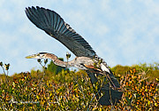 Ibis Drawings Metal Prints - Heron Glide Metal Print by Alex Suescun