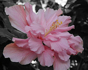 Extreme Floral Images - Hibiscus Pink by Kathy Dahmen