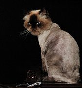 Scowl Prints - Himalayan Cat Lioned Out Print by Wayne Nielsen