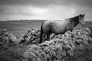 Burren Photo Acrylic Prints - Horse in the Burren Acrylic Print by John Burnett