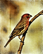 Carpodacus Mexicanus Photo Posters - House Finch Poster by Lana Trussell