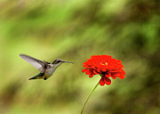 Sue Baker Art - Hummer hovering over Red Zinnia by Sue Baker