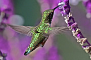 Hummingbird Prints Framed Prints - Hummer Framed Print by Paul Marto