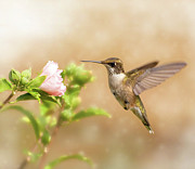 Althea Art - Hummingbird Hovering by Sari ONeal