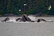 Humpback Whale Metal Prints - Humpacks bubble-feeding Metal Print by Bill Lindsay
