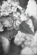 Textured Vase Framed Prints - Hydrangeas in Black and White Framed Print by Stephanie Frey