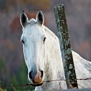Fence Post Posters - ...I Could Eat A Horse Poster by M  Nerrie