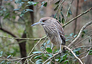 Suzanne Gaff - Immature Black Crowned Night Heron