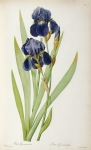 Illustration Framed Prints - Iris Germanica Framed Print by Pierre Joseph Redoute