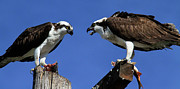 Osprey Prints Framed Prints - Is the Fish Fresh Framed Print by Paul Marto