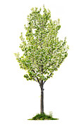 Green Leaves Posters - Isolated flowering pear tree Poster by Elena Elisseeva