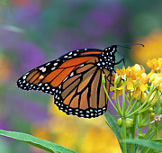 Monarch Photos - Its Time by Maria Aiello
