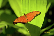 Bugs And Insects - Julia Butterfly by Margaret Buchanan