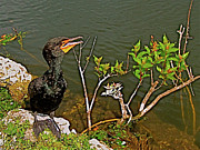 Audubon Digital Art Posters - Juvenile Cormorant along Anhinga Trail in Everglades NP Poster by Ruth Hager