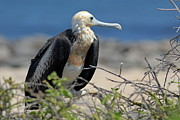 Sami Sarkis - Juvenile Great Frigate bird