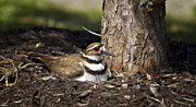 Killdeer Photos - Killdeer by Linda Tiepelman