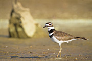 Killdeer Metal Prints - Killdeer On the Shore Metal Print by Steven Llorca