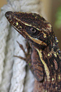 Reptiles - Knight Anole Photograph by Meg Rousher