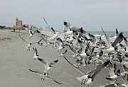 Suzanne Gaff - Laughing Gulls III - a Flying Frenzy