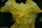 Yellow Bearded Iris Photos - Lemon Twist by Susan Herber