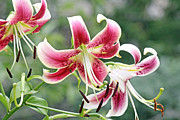 Asiatic Lilly Prints - Lilies in pink Print by Becky Lodes