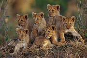 Joe McDonald and Photo Researchers - Lion Cubs