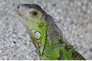 Reptiles - Lizard Photograph by Meg Rousher