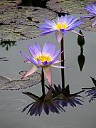 David Dunham - Lotus Reflection 4