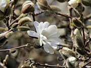 March Photos - Magnolia flower by Pierre Leclerc