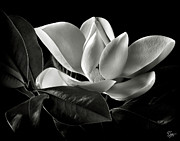 Floral Metal Prints - Magnolia in Black and White Metal Print by Endre Balogh