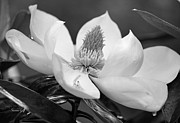 Suzanne Gaff - Magnolia in May - Black and White