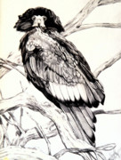 Eagle Drawing Drawings Originals - Majestic Russian Stellers Sea Eagle by Cheryl Poland