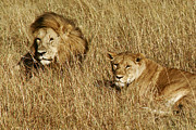 Huntress Photos - Male and Female Lions in Kenya by Carl Purcell