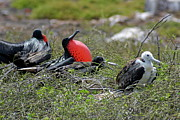 Sami Sarkis - Male and Juvenile Great Frigate bird