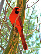 Audubon Digital Art Posters - Male Cardinal in Arizona Poster by Ruth Hager