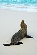 Sami Sarkis - Male Galapagos Sea lion standing on...