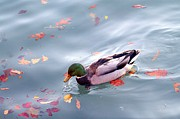 Elizabeth Winter - Mallard in Fall