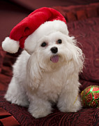 Maltese Puppy Photos - Maltese Santa by Leslie Leda