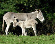 Jackass Foal Prints - Mama Donkey And Baby Print by Deborah  Smith