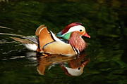 Duck - Mandarin Duck by Kathy Gibbons