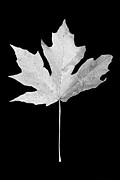Jennie Marie Schell - Maple Leaf Black and White