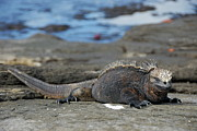 Sami Sarkis - Marine Iguana lying on rock by water