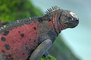 Sami Sarkis - Marine Iguana on rock covered by green...