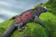 Sami Sarkis - Marine Iguana on rock covered with...