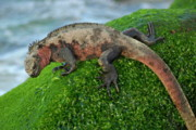 Sami Sarkis - Marine Iguana on rock